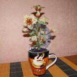 кофейный цветок