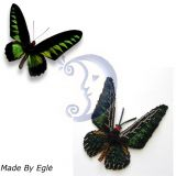 Drugelis-Trogonoptera brookiana